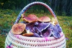 Photo: WIld mushrooms picking in Lithuania - Dzukijos uoga