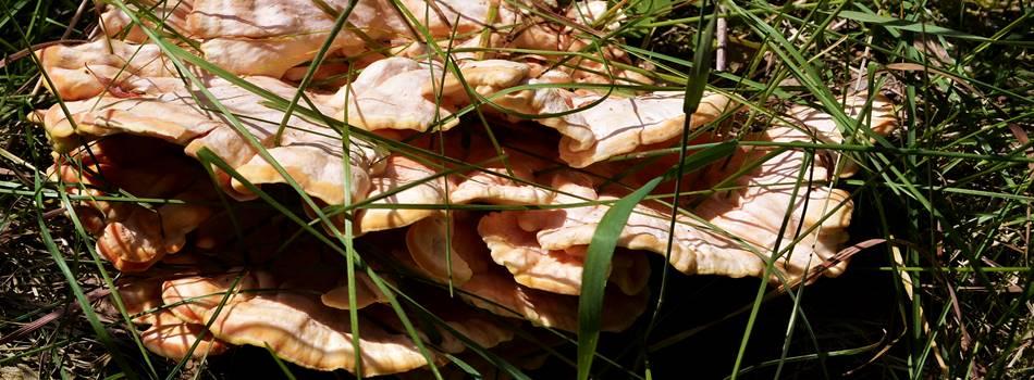 """Foto: Valgomoji geltonpintė - pavasario grybas Dzūkijoje - """"Dzūkijos uoga"""""""
